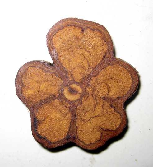 ayahuasua root